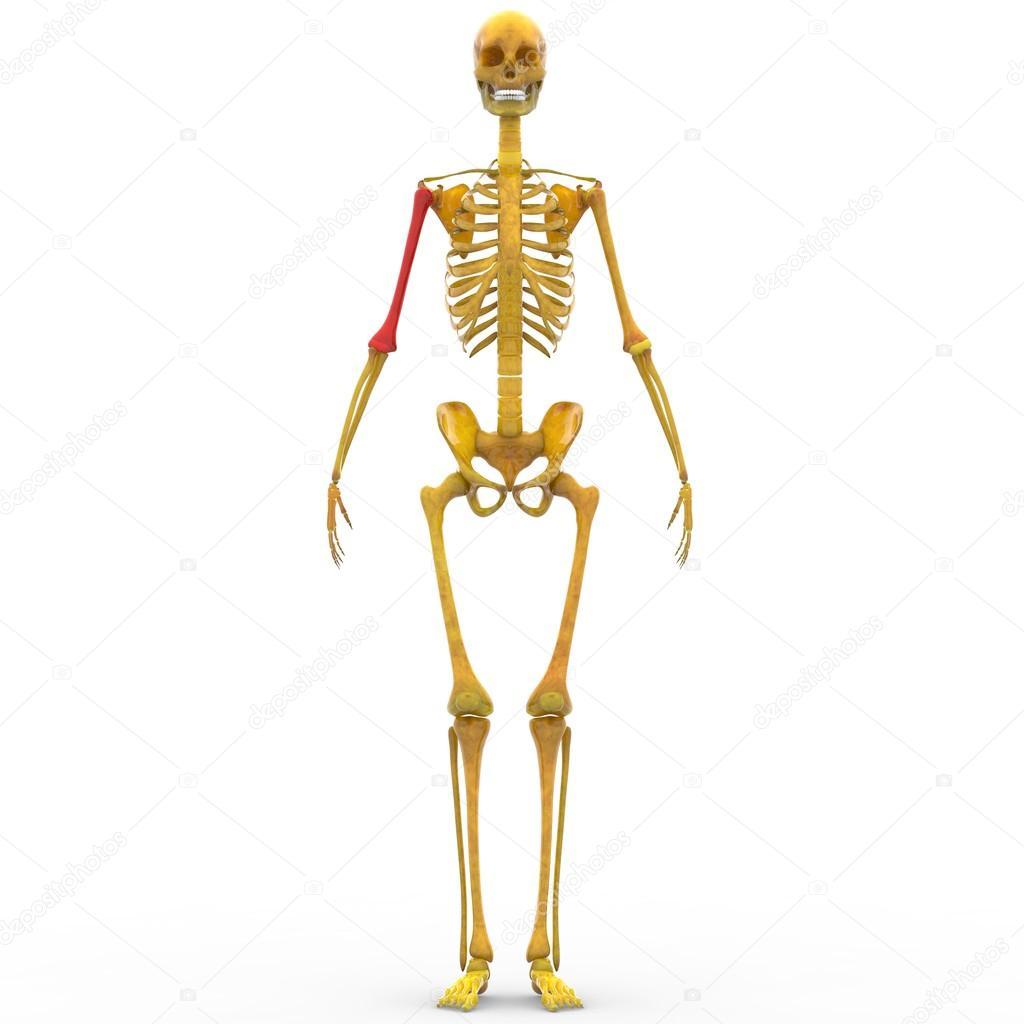 Menschliches Skelett Humerus Knochen — Stockfoto © magicmine #94078862