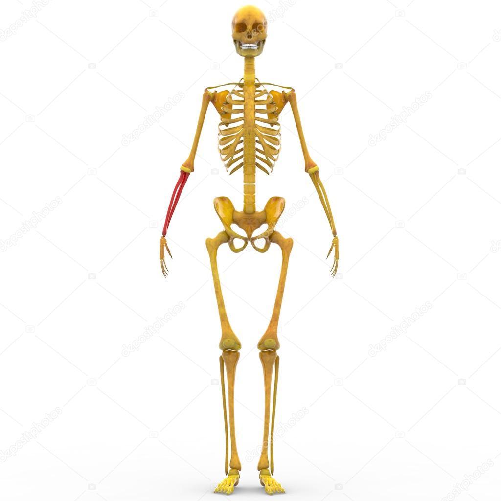 Human Skeleton Radius and Ulna Bone — Stock Photo © magicmine #94078864