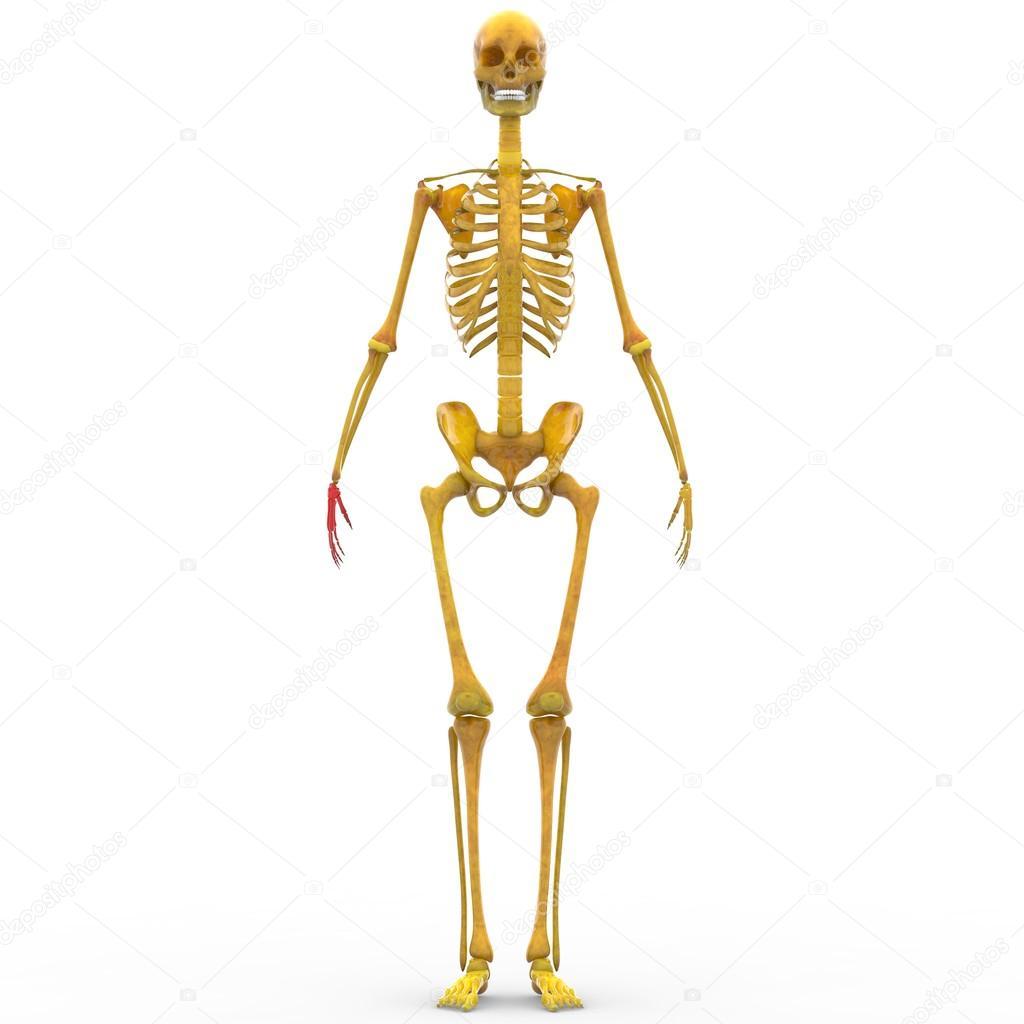 Menschliches Skelett Finger Gelenke — Stockfoto © magicmine #94078866
