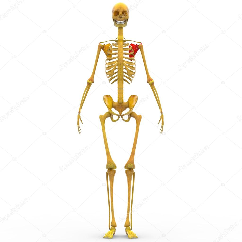 Menschliches Skelett Schulterblatt-Knochen — Stockfoto © magicmine ...