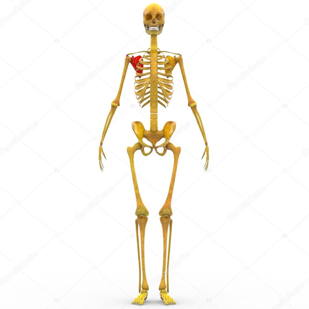 Hueso de la escápula de esqueleto humano — Fotos de Stock ...