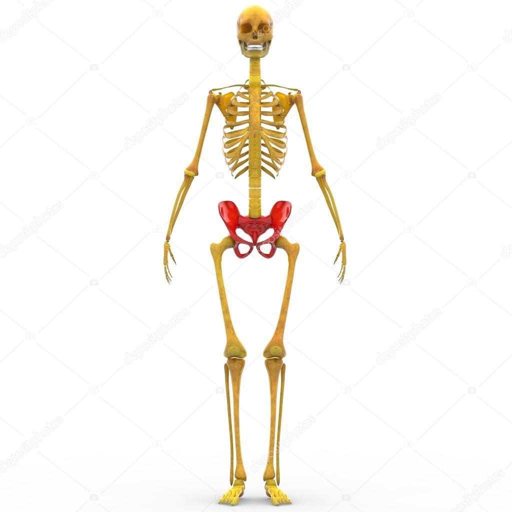 Human Skeleton Hip and Pelvis — Stock Photo © magicmine #94078882