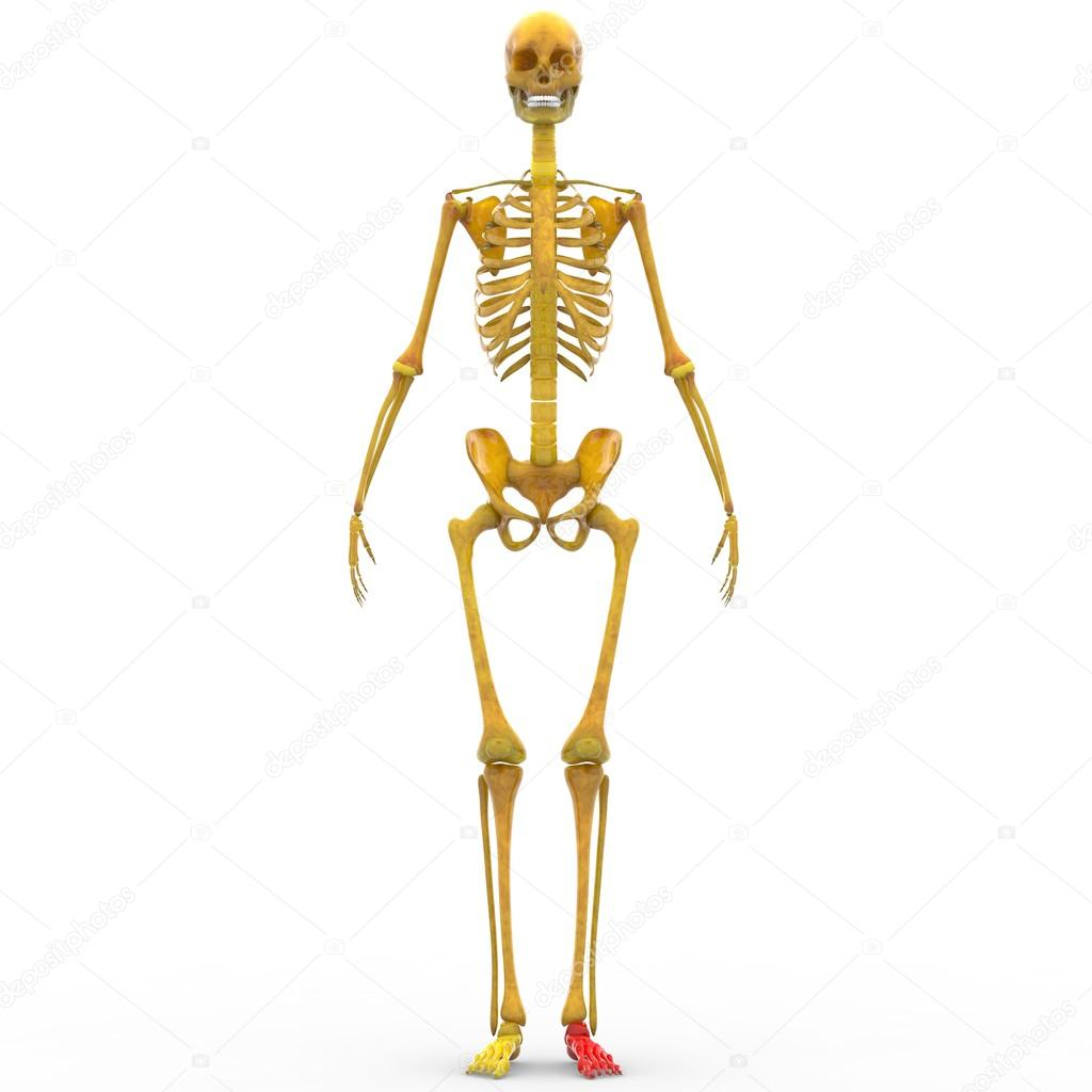 Human Skeleton Joints Of Foot Stock Photo Magicmine 94078896