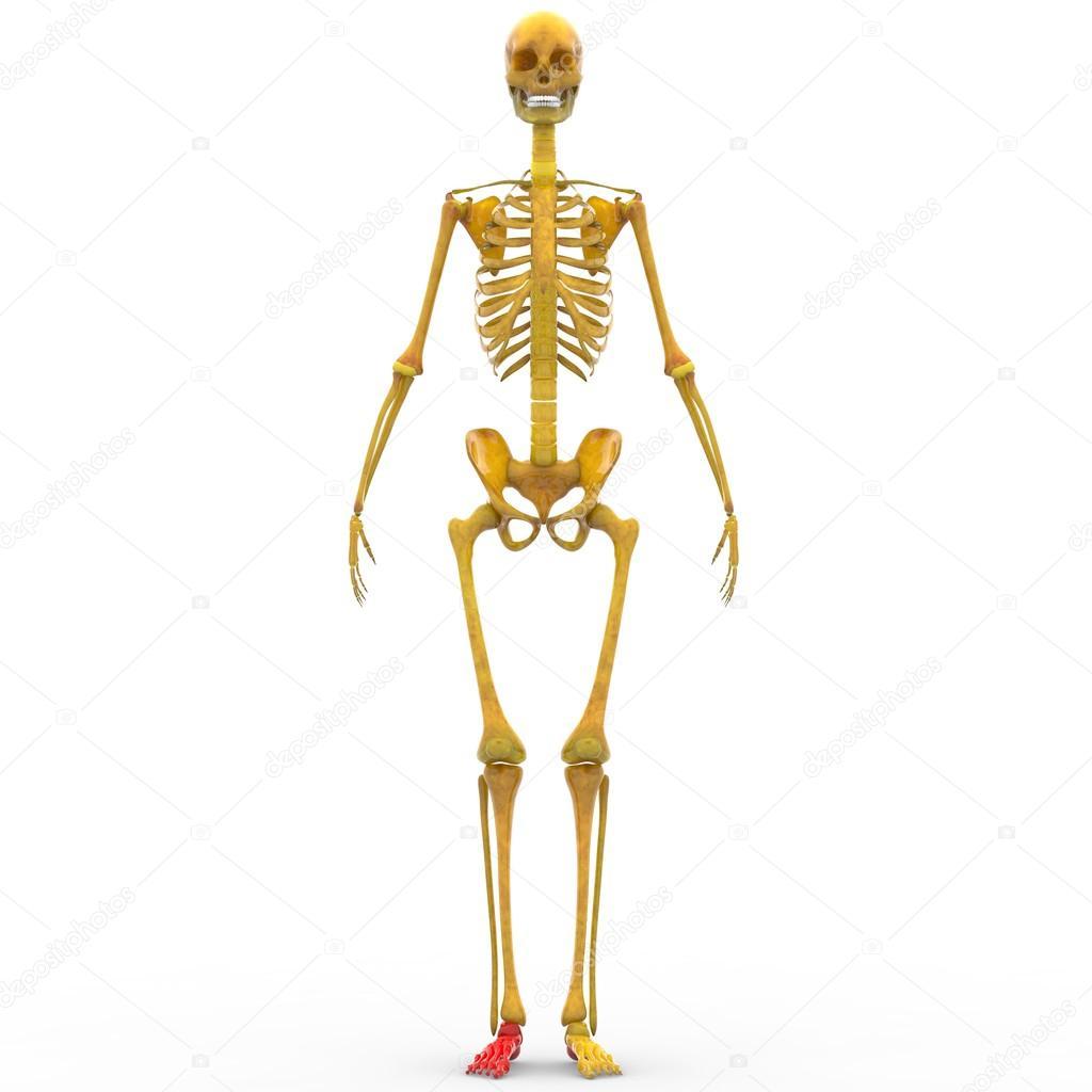 Menschliches Skelett Gelenke des Fußes — Stockfoto © magicmine #94078898