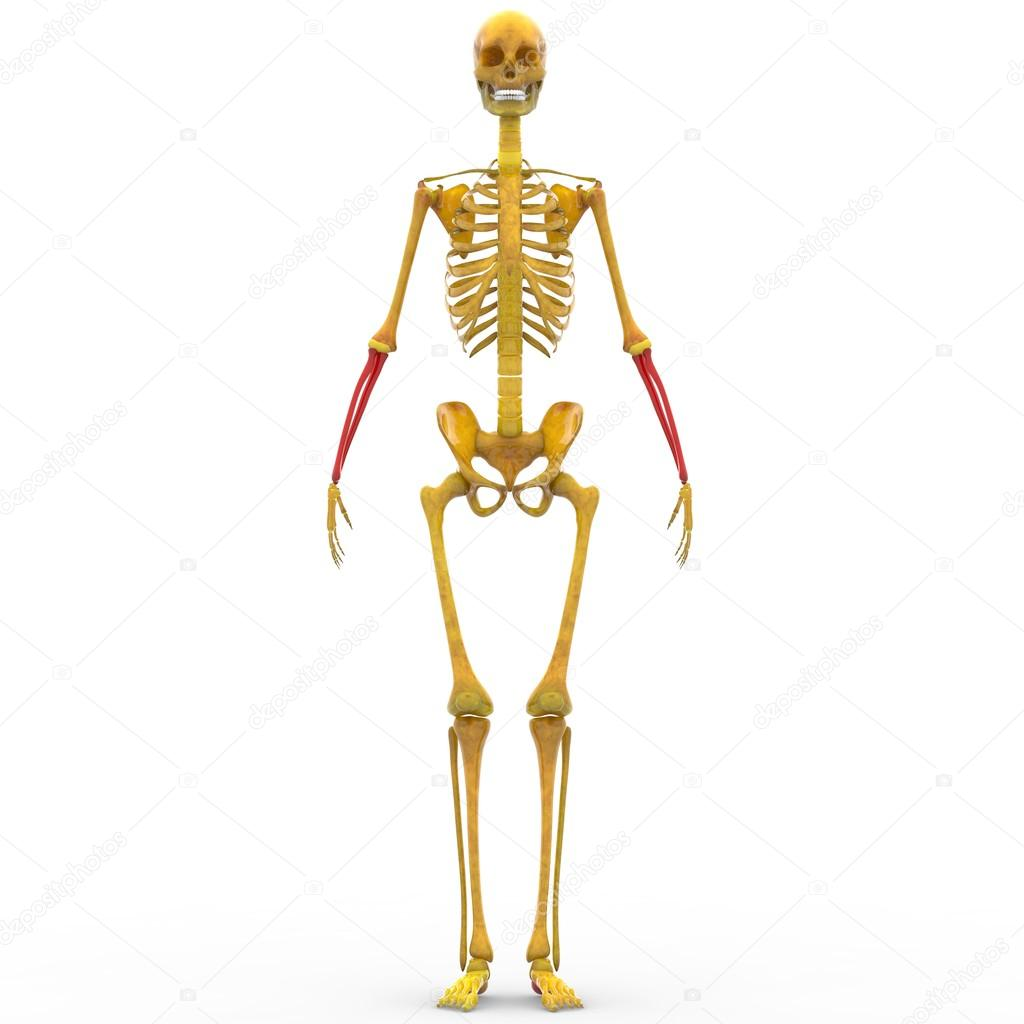 Menselijk skelet Radius en Ulna bot — Stockfoto © magicmine #94078912