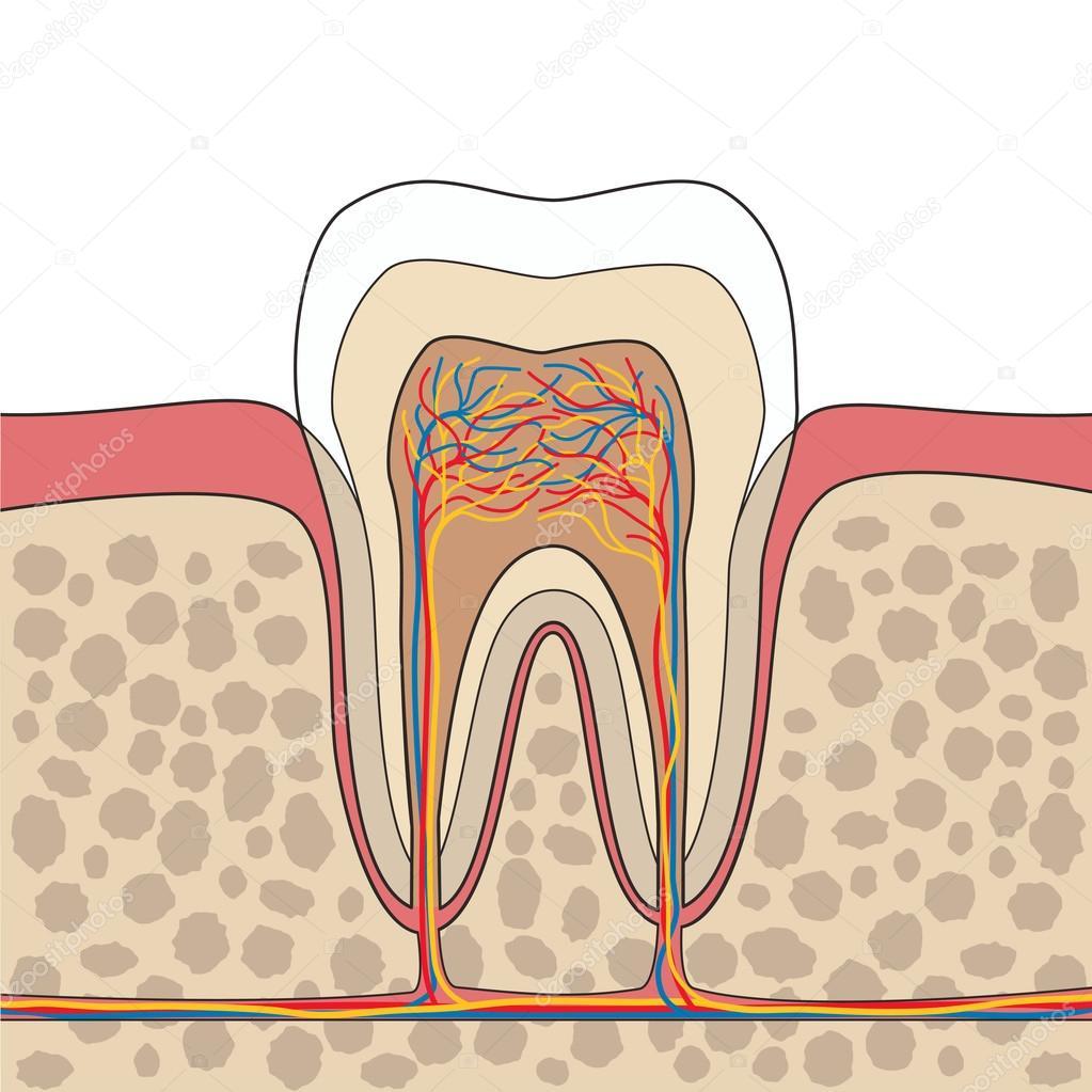 Ilustración de la anatomía del diente — Archivo Imágenes Vectoriales ...