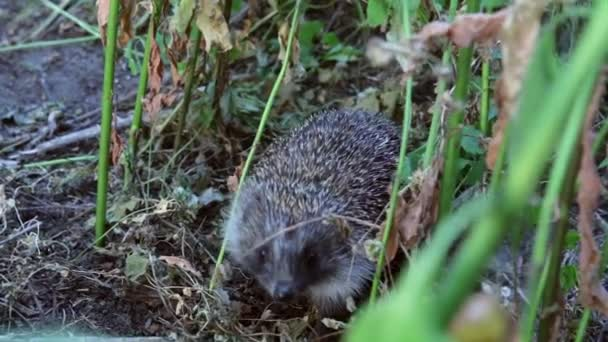 Hedgehog goes through in the garden, summer, nature, evenings and sunset