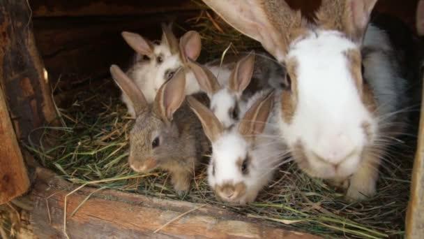 Giovani conigli in una conigliera coniglio europeo - Oryctolagus cuniculus