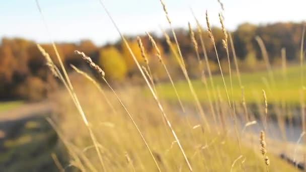 Tráva ve větru za slunečného dne. Bohaté barvy