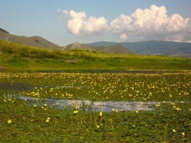 Blooming water lilies on the river Ust Anga on Lake Baikal