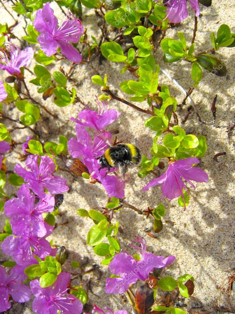Bumblebee flying among ledum