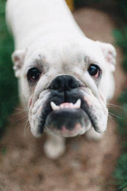 white English bulldog, close-up, looking at the camera