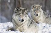 a természetben a szürke Farkas