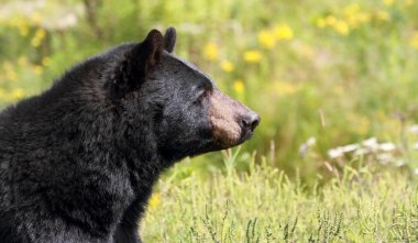 face of bear