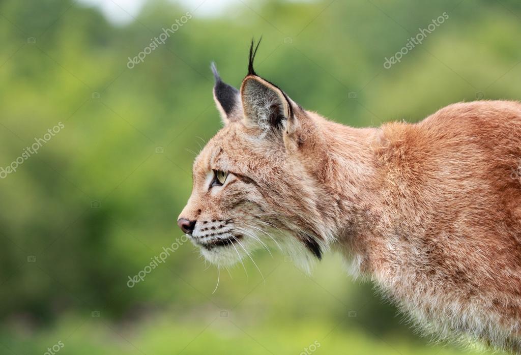 profile of bobcat