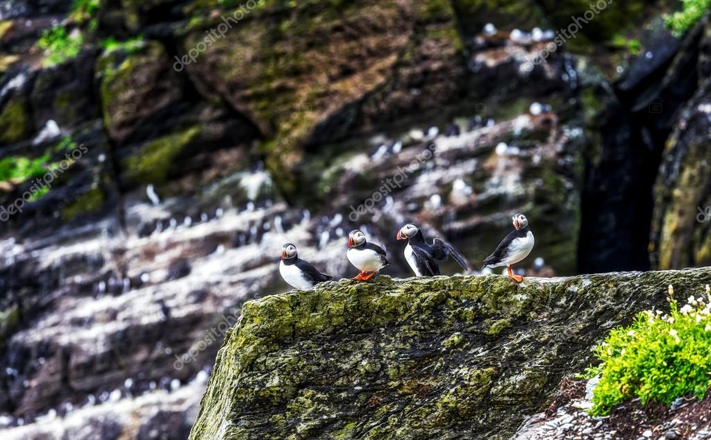 Atlantic puffins group