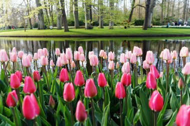 Flower beds with pink tulips