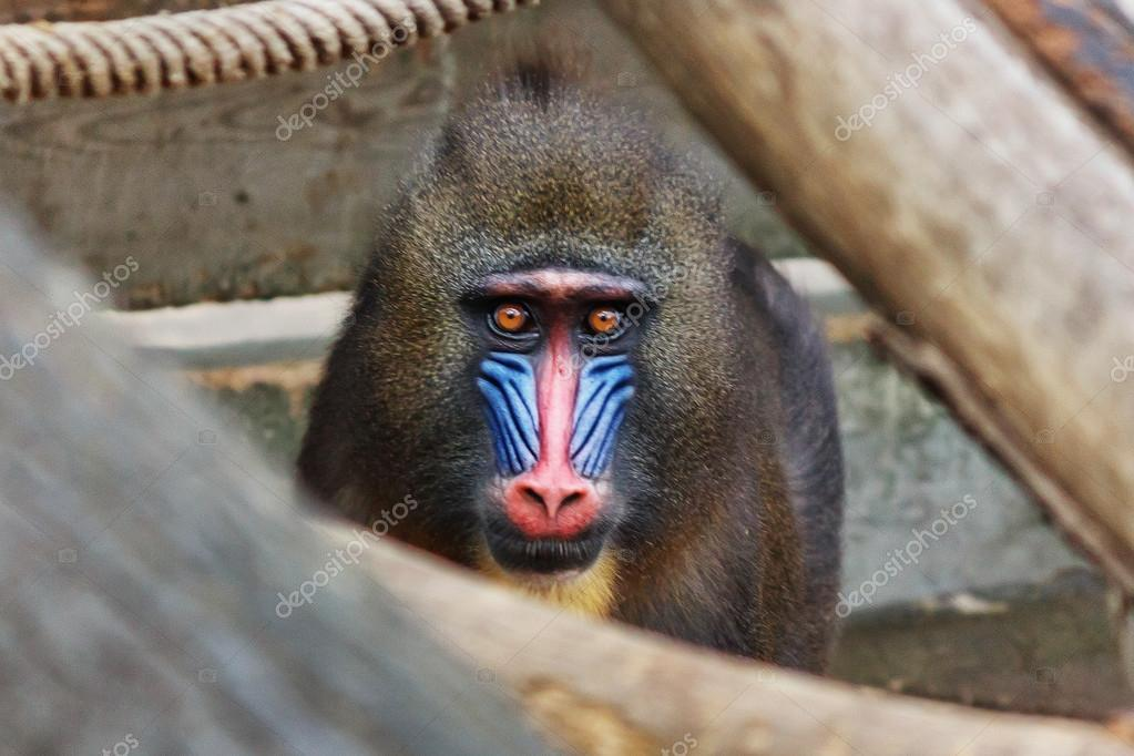 Close-up portrait of male mandrill