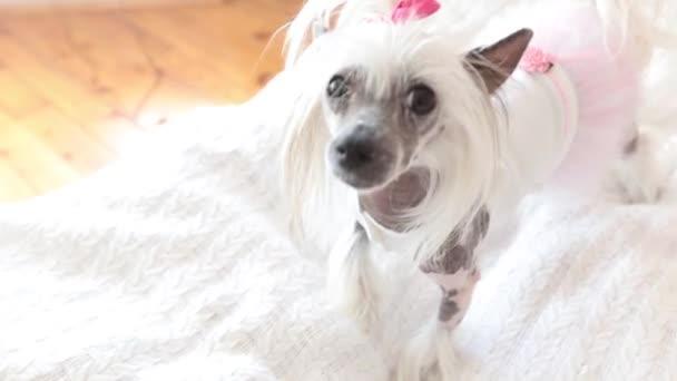Kutya-val rózsaszín orr