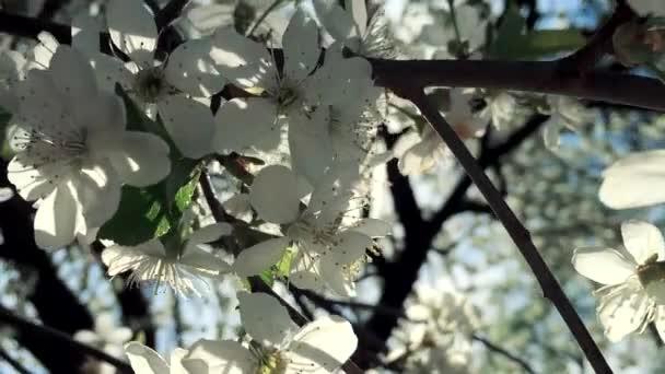 Fényes sugárzás a tavasz. Virágok virágzó körte Vértes hátország Kötet napfény és romantikus haze