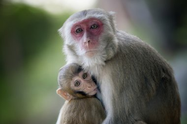 monkey with a baby sucking her breasts