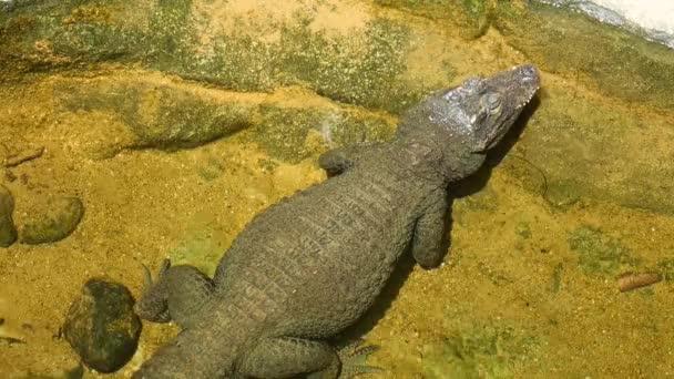 Crocodile in the water, a small crocodile.