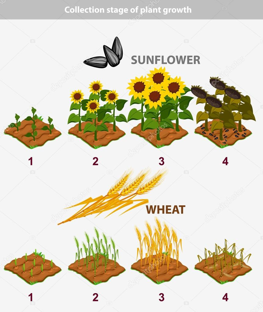 plant growth stage. Sunflower and Wheat