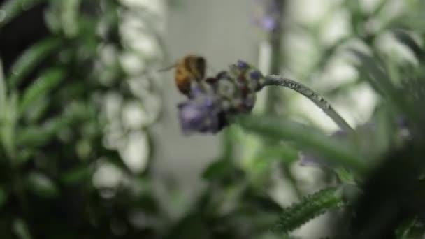 včela na levandule