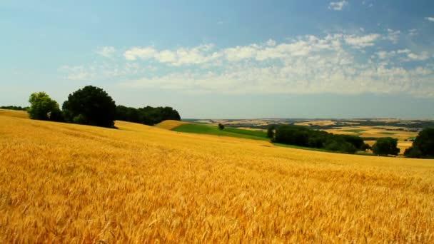 Zralé pšenice v očekávání sklizně