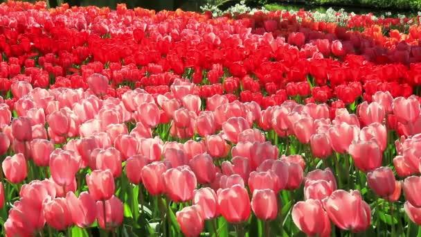 A parkban Keukenhof tulipán.