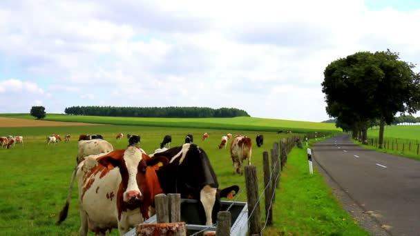 Krávy na pole v Lucembursku.