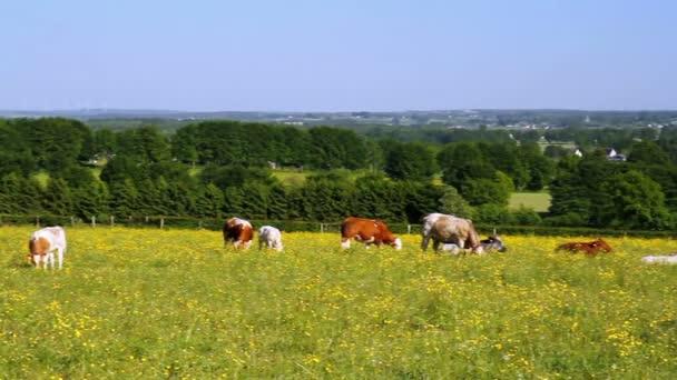 krávy na hřišti.