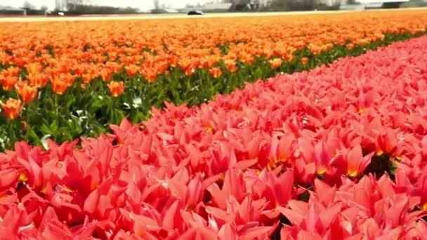 A Keukenhof közelében tulipán mező.