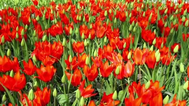 Tulipány v parku Keukenhof.