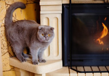 Fold grey cat with yellow eyes sitting at the fireplace