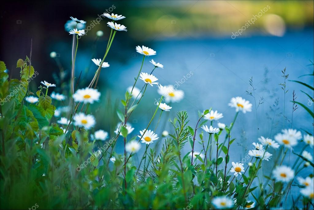 Фотообои white daisies on blue background
