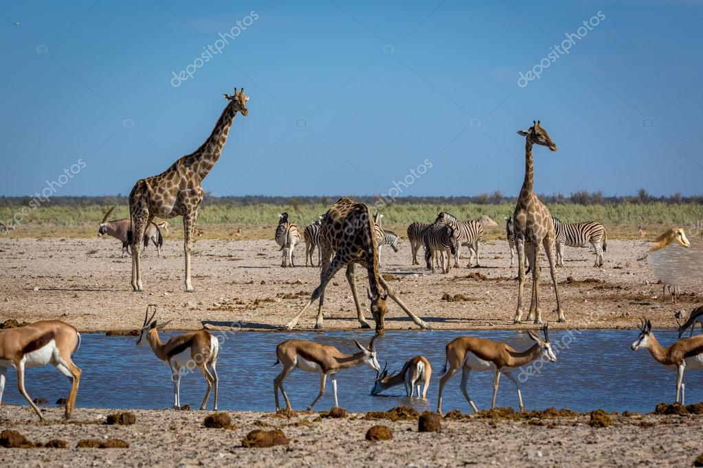 Animals drinking water in Namibia