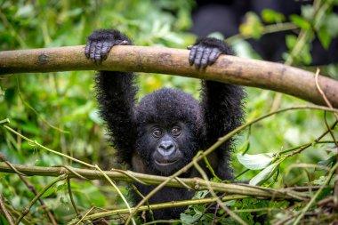 baby gorila inside Virunga National Park