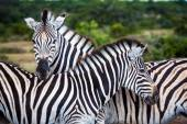 Dvě zebry hrát s sebou