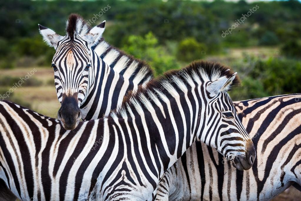 Two zebras playing with each other
