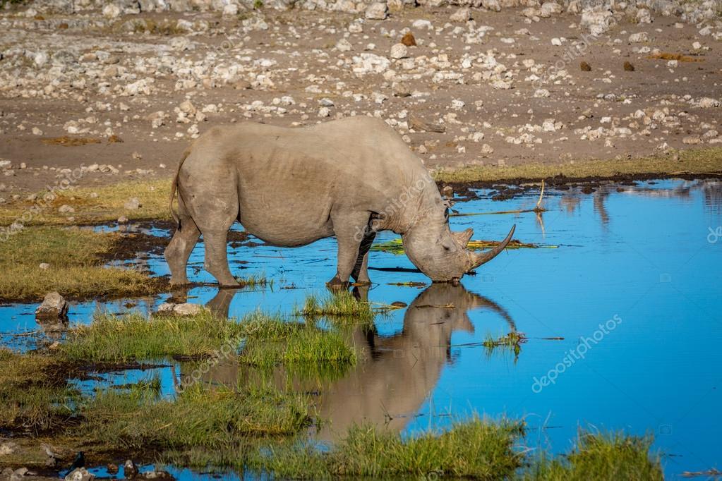 White rhino drinking water