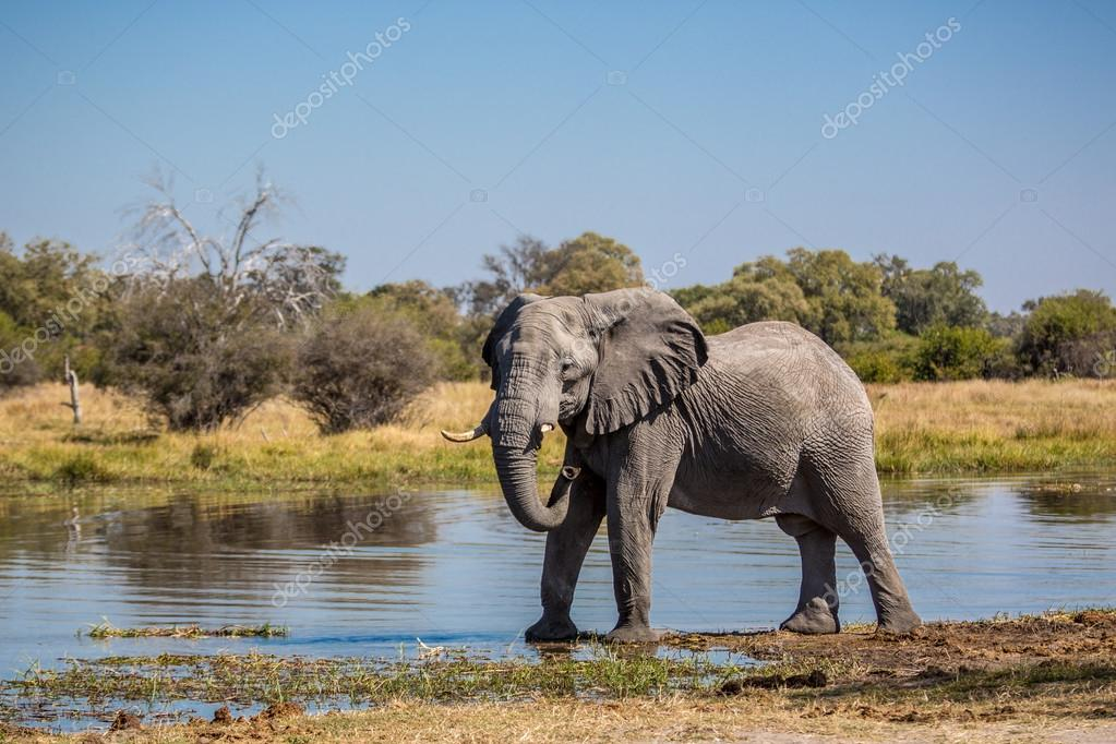 elephant alone in Chobe National Park