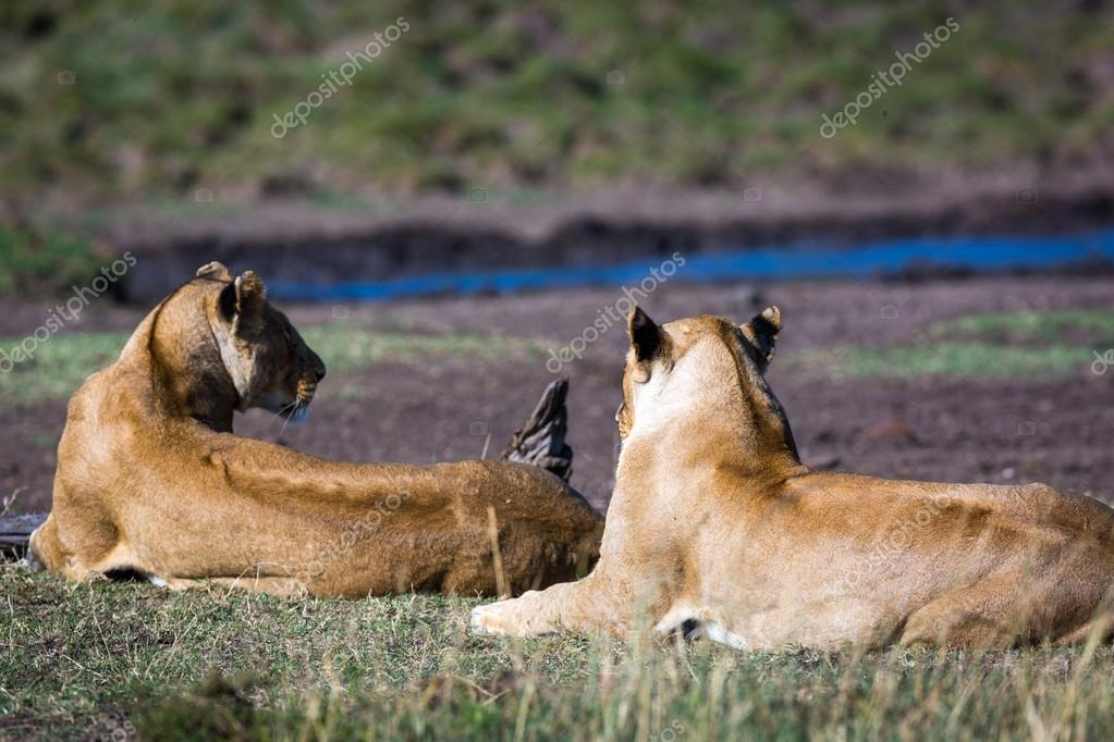 lions resting in savannas of Kenya