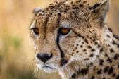 Gepard toulá kolem parku Serengeti