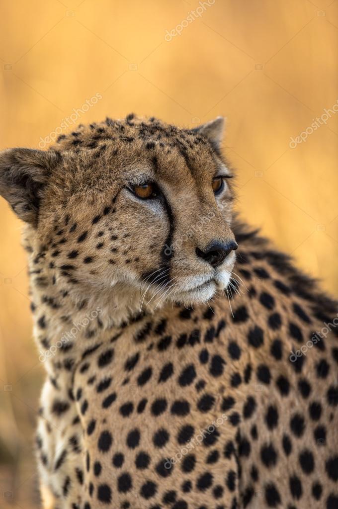 Beautiful Cheetah in Serengeti National Park