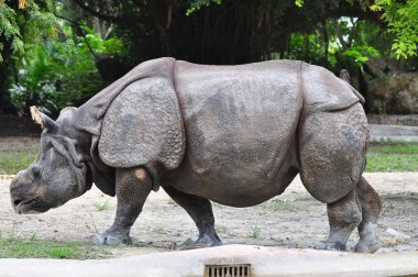 Beautiful Indian Rhino