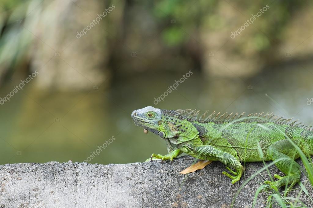 Green iguana on tree trunk