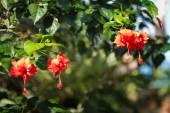krásné červené ibišku