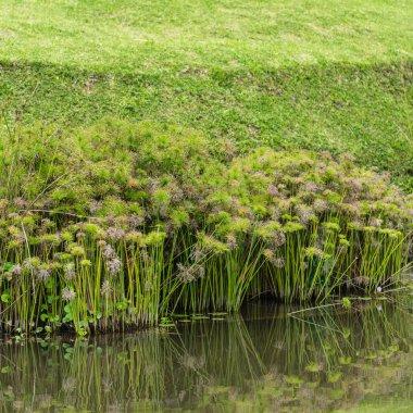 Umbrella papyrus plants