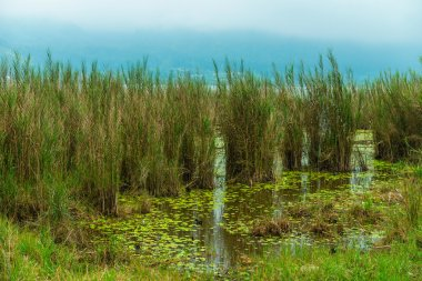 Aquatic plants in swamp